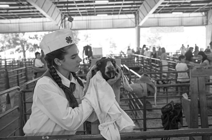 Serena gets her goat ready for the show at the Alameda County Fair. Photo by Rafael Roy.