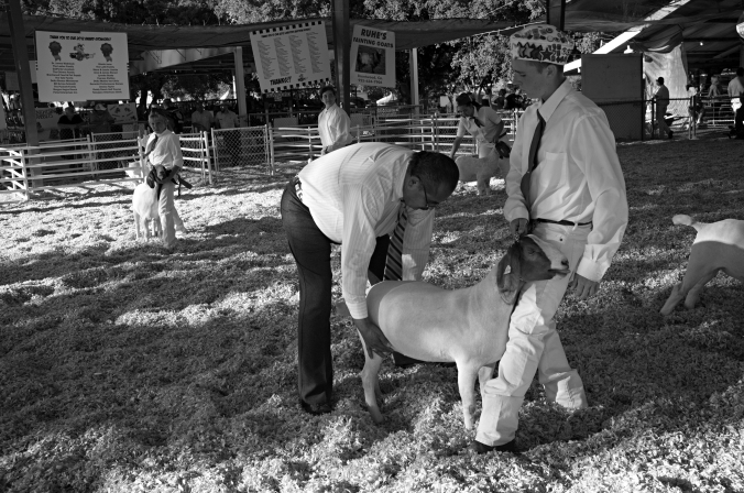 Anthony braces his meat goat during the show at the Contra Costa County Fair. The brace positions allows the judge to evaluate the goat's muscles and bone structure. Photo by Rafael Roy.